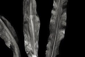 Corn leaf /BIG