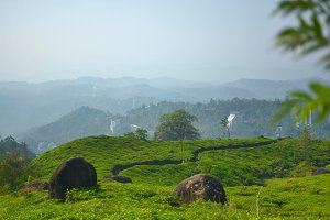 Tea Mountains