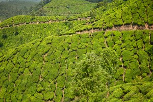 Tea Plantation #2