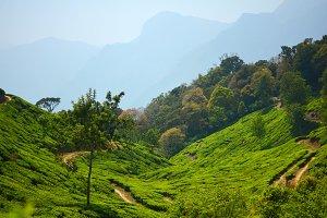 Tea Plantation #3