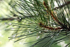 pine branches with waterdrops