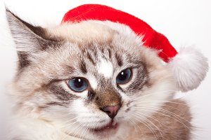Cat wearing a Santa Claus hat.