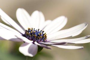 Close-up of a daisy blue center