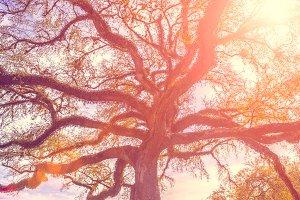 Southern oak tree