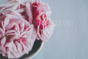 Pink Spring Rose Stock Photo