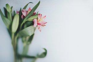 Peruvian Lilies Stock Photo
