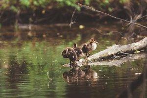 Duck children