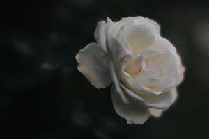 Dark Stock Photo of White Rose