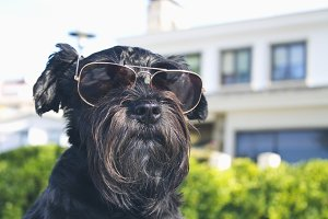 black dog with sunglasses