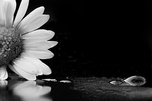 Daisy reflections in black and white