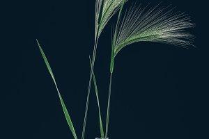 Still life with stems stipa on dark.