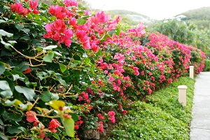 Bougainvillea Pathway