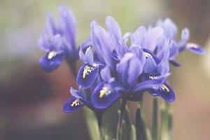 Romantic Violet Iris