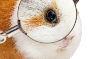 Guinea pig and magnifying glass