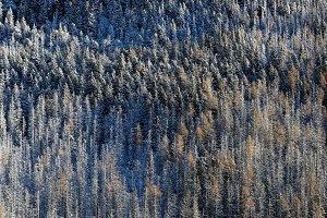 Graphic snowed pines texture