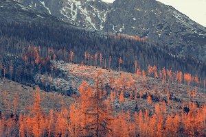 Sunset-burning pines scenery