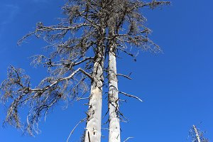 Dead trees and a blue sky
