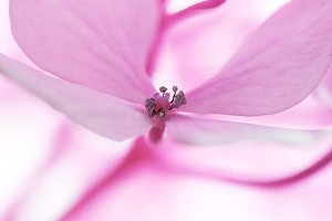 Close-up pink Hydrangea