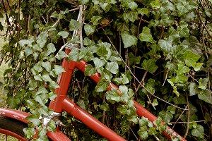 Vintage bicycle in green ivy