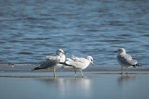 Three gulls on icy pond