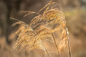 Branches of dried pampas grass