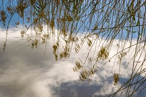 Dry pampas grass reflected in water