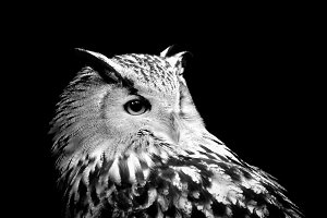 Owl on dark background