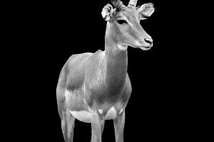 Impala on dark background
