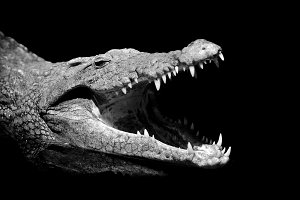 Crocodile on dark background