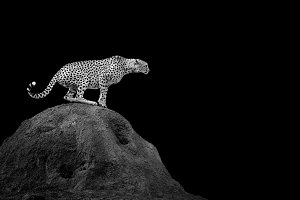 Cheetah on dark background
