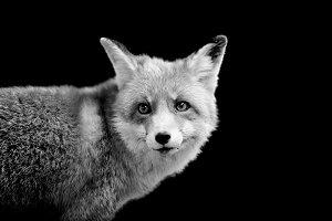 Red fox on dark background