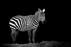 Zebra on dark background