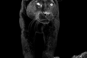 Black leopard on dark background