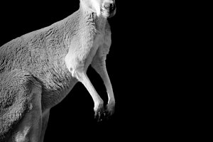 Kangaroo on dark background
