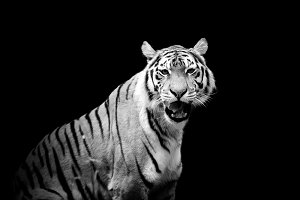 Tiger on dark background