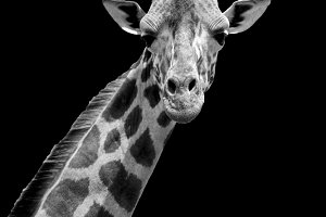 Giraffe on dark background