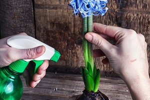 Caring for hyacinth