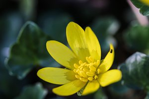 Fig buttercup flower