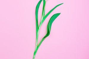 Pink Tulip Minimal