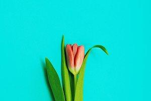 Red Tulip Minimal
