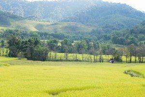 Rice farm on the mountain