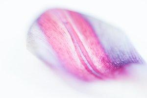tulip petal abstract