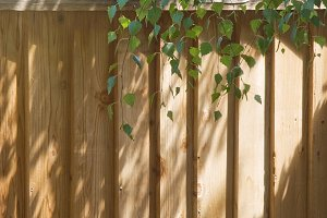 Leaves and Wood Fence (Photo)