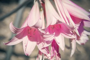 Pink Lilies (Photo)