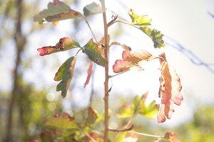 Poison Oak (Photo)