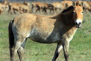 Horse-tarpan