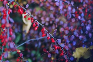 Decorative shrub with red berries