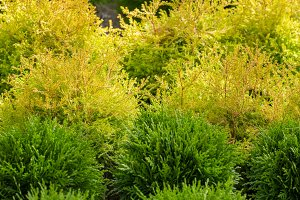 Green and yellow cypress