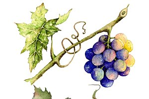 Grape in watercolor