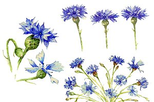 Cornflowers in watercolor